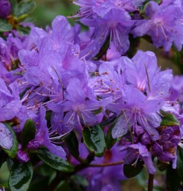 Rhododendron Purple Pillow - Törpe havasszépe