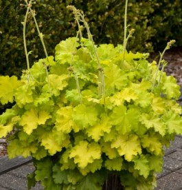 Heuchera Lemon love - Tűzeső