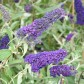 Buddleja davidii Empire Blue - Illatos nyáriorgona